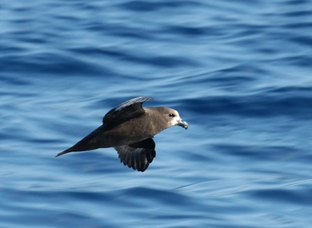 and Pterodromas such as this Great-winged Petrel.