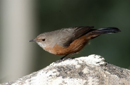 the enigmatic Origma, or Rockwarbler,