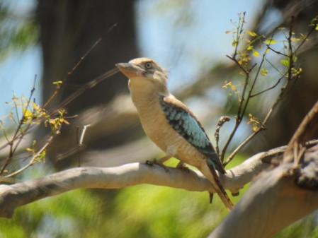 In the drier forests on the north side of the Tablelands we will find hulking Blue-winged Kookaburra,