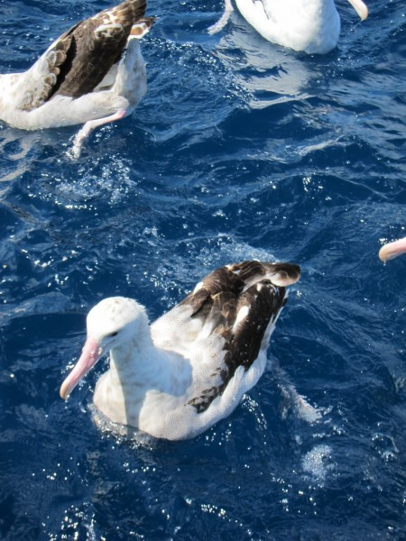 will bring us to within meters of Wandering Albatross,