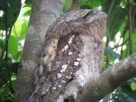and muppet-like Papuan Frogmouth.