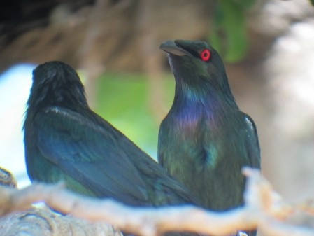 Our East Australia tour starts off in central Cairns, where  fig trees often serve as banquet tables for Metallic Starlings.
