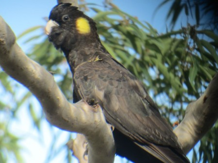 support Yellow-tailed Black Cockatoos,