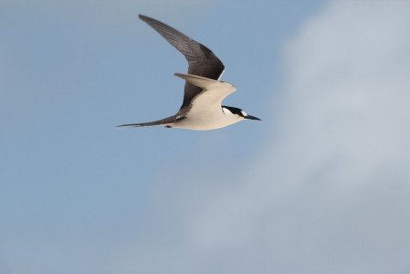 but we'll have to look hard through the Bridled Terns to find a Sooty Tern.