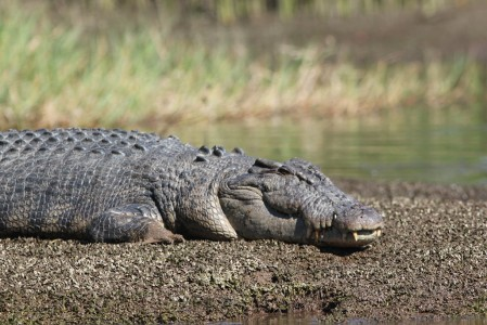and perhaps even that most Australian of animals - the Saltwater Crocodile.