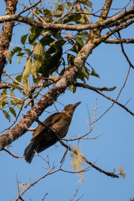 is undoubtedly the star of the show. Here the endemic Seram Oriole...
