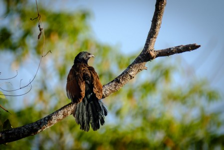 while the Greater Coucal is more widespread...
