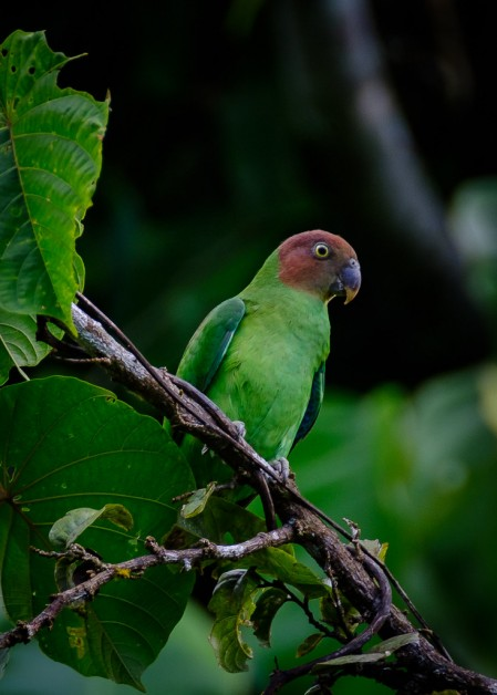 Red-cheeked Parrot is widespread but always a great bird...