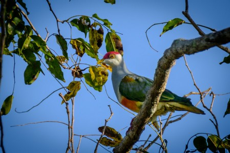 the gorgeous Wallace's Fruit-Dove is named for the famed naturalist...