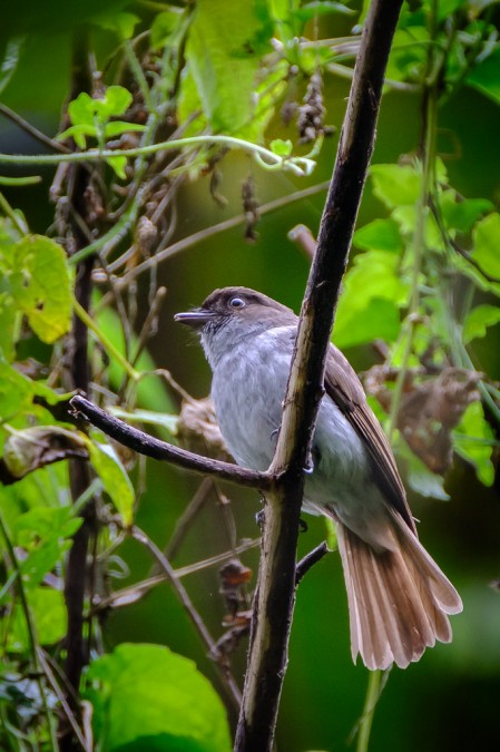 the endemic Streak-breasted Jungle Flycatcher...
