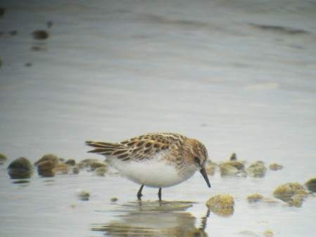 ...and if we're very lucky a vagrant such as Little Stint...