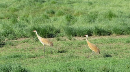 …while in nearby meadows we could see a locally breeding pair of Sandhill Cranes…