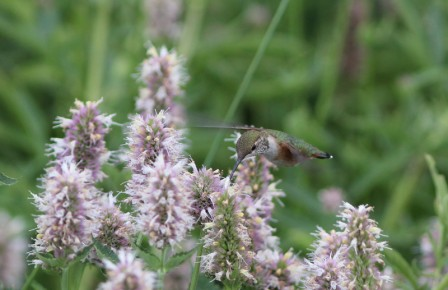 …or perhaps a migrant Rufous Hummingbird in a field of horsemint.