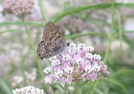 Roadside flowers can have a wonderful variety of butterflies such as this Tailed Copper.