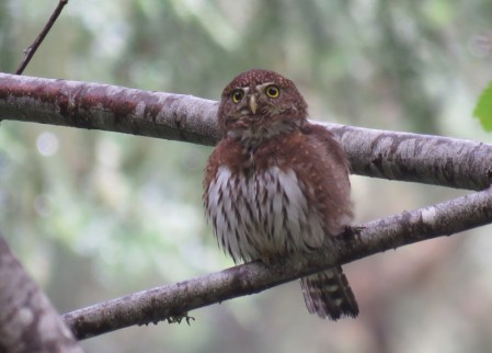 ..and while searching for flocks of migrant passerines we may stumble into a cooperative Northern Pygmy-Owl.